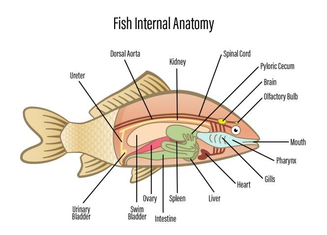 Bony Fish Internal Anatomy Gallery Human Anatomy Diagram Organs