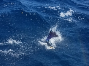 Atlantic Sailfish Caught by Live to Fish team member